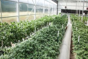 cannabis greenhouse Zimbabwe Considers Legalizing Cannabis Production